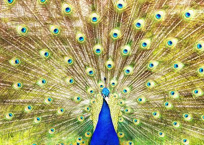 Closeup of Peacock Displaying Train