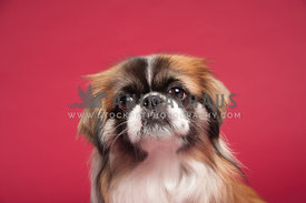 serious pekinese head shot in studio on a red background