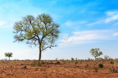 Isolated Trees in Open Savannah in South Africa