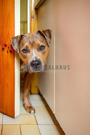 Concerned looking Amstaff with head through small gap in bathroom door
