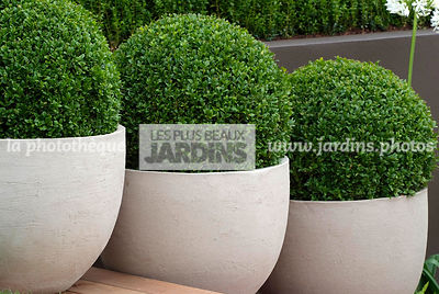 Ball shaped, Bush, Buxus, Container, Contemporary garden, Evergreen, Pot, Sphere shaped, Topiary, Common Box, Digital