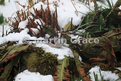 Long-Tailed Tit (Aegithalos caudatus) foraging in snow in a Lake District National Park garden, Cumbria, England