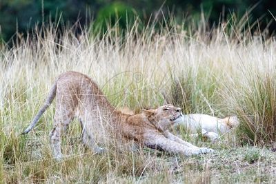 Lioness Stretching in Africa Grassland