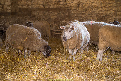 Lambing Open Day at Broughton Grounds Farm - 2017