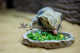 bearded dragon eating greens out of shallow bowl