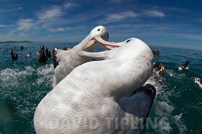 Gibson's (Wandering) albatross (Diomedea antipodensis gibsoni) Kaikoura Southern Ocean New Zealand fighting over food