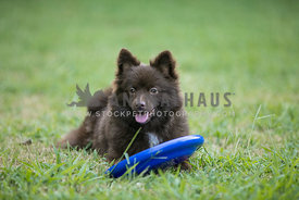 brown pomeranian laying in grass with a frisbee