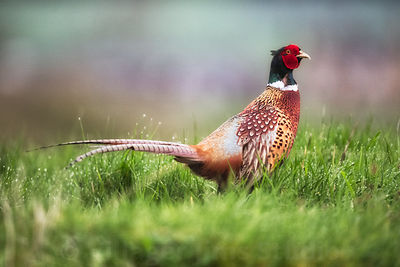 Springtime_Pheasant_MAY