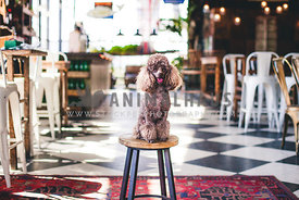 Poodle sitting on a stool in stunning interior location.