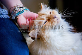 Longhaired cat enjoying head scratch