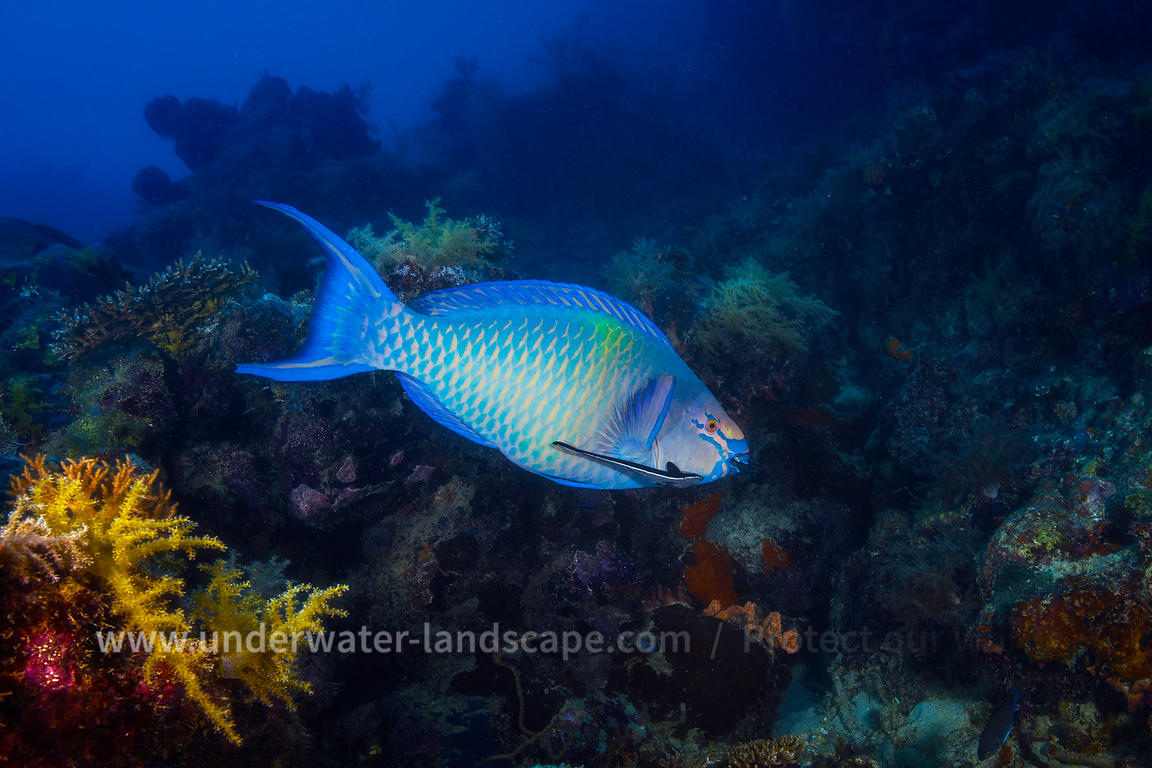 Redbarred parrotfish with a remora