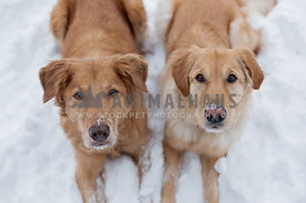 Two goldens in the snow