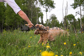 Labradoodle Dog Tugging Stick in Man's Hand