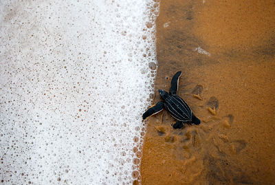 Leatherback Turtle (Dermochelys coriacea) hatchling entering the sea. Cayenne, French Guiana, July.
