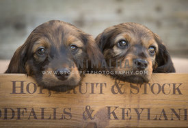 two cute tan dachshund puppies in a wooden apple crate
