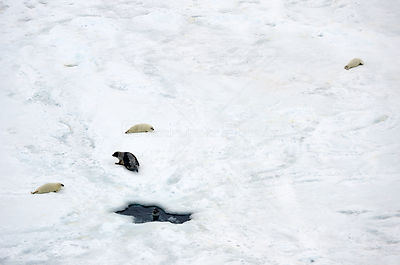 Aerial view of Harp seal (Phoca groenlandicus) female and pups hauled out on sea ice, Magdalen Islands, Gulf of St Lawrence, ...