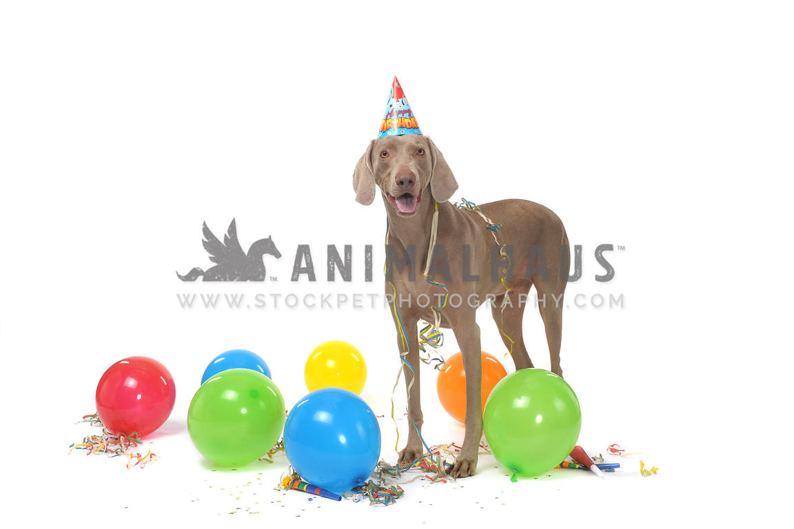 Gray weimraner wearing party hat with balloons on white background