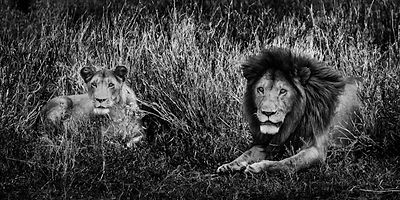 1706-Couple_of_lions_Laurent_Baheux