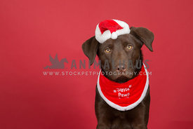 Chocolate Labrador posing in Santa hat and bandana against a red background