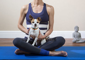 Chihuahua Dog Sitting on Lap of Yoga Instructor on Mat