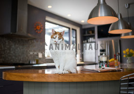 cat sitting on the kitchen counter