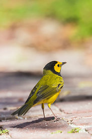 Hooded Warbler Male in Dry Tortugas National Park, Florida, USA