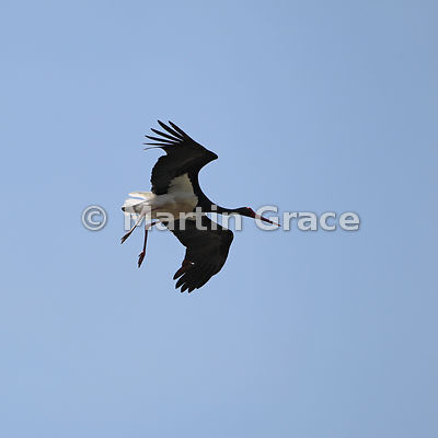 Black Stork (Ciconia nigra) in flight, La Portilla del Tietar, Monfrague National Park, Extremadura, Spain