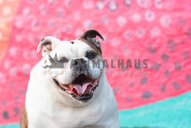 close up of smiling english bulldog in front of colorful painted wall
