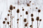 Teasle heads in the snow