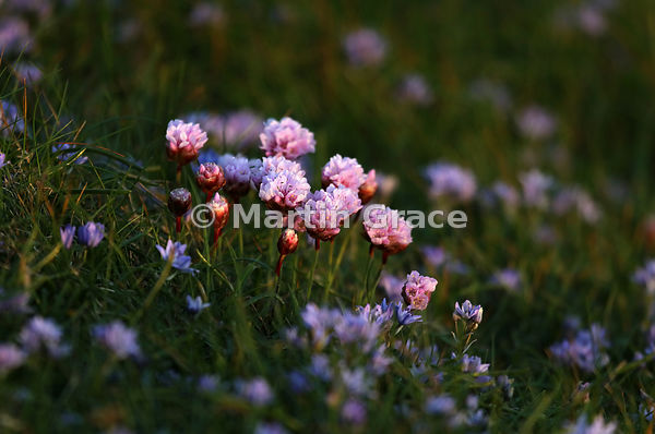 Thrift (Armeria maritima ssp maritima) illuminated by a shaft of late evening sunlight, in a carpet of Spring Squill (Scilla ...