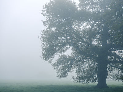 Thick fog and a majestic Oak tree at Clyst St Mary, Devon, UK