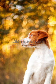 Brittany spaniel puppy sitting looking to the left with yellow bokeh behind