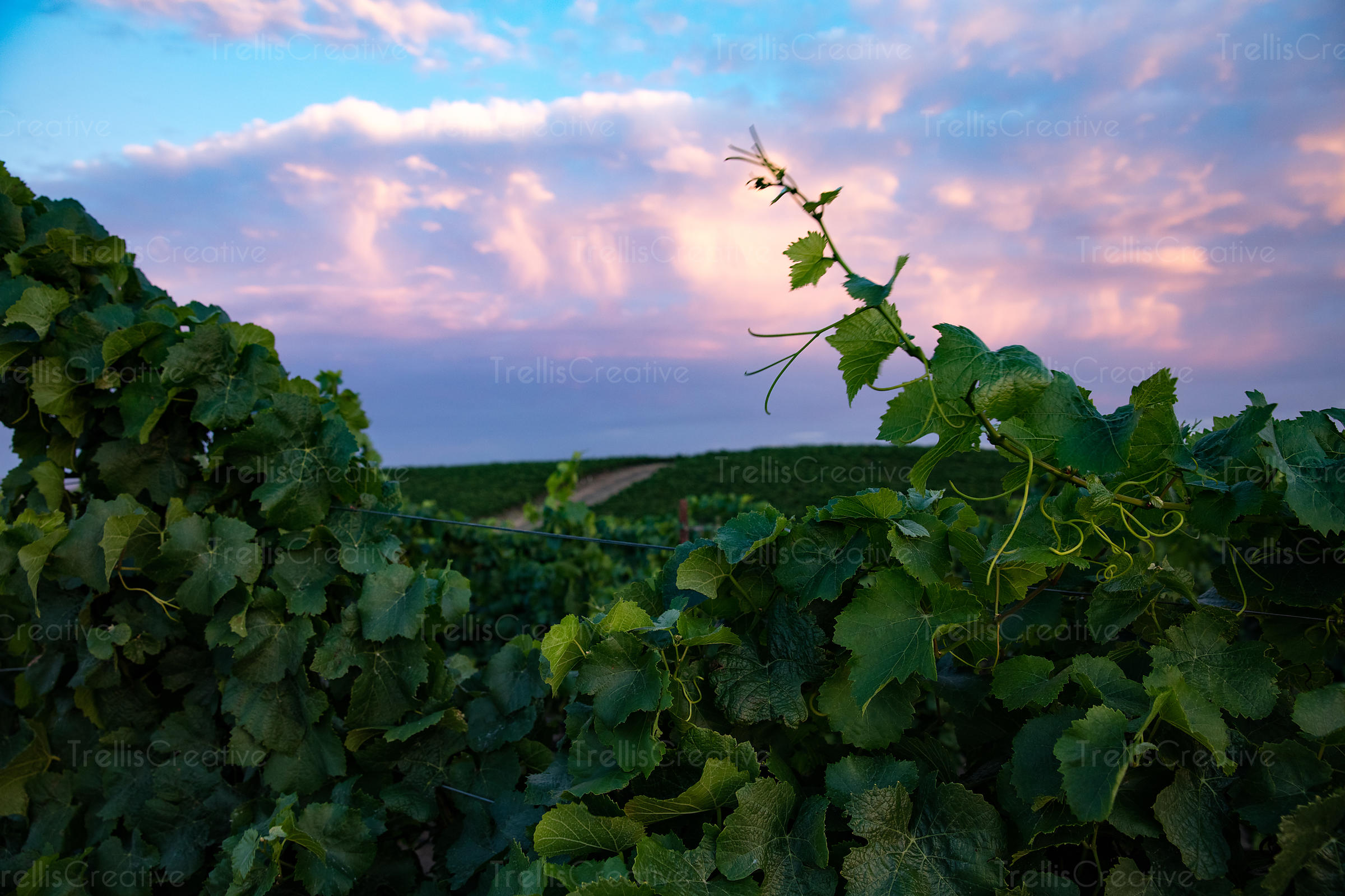 Grape vine close up during sunset