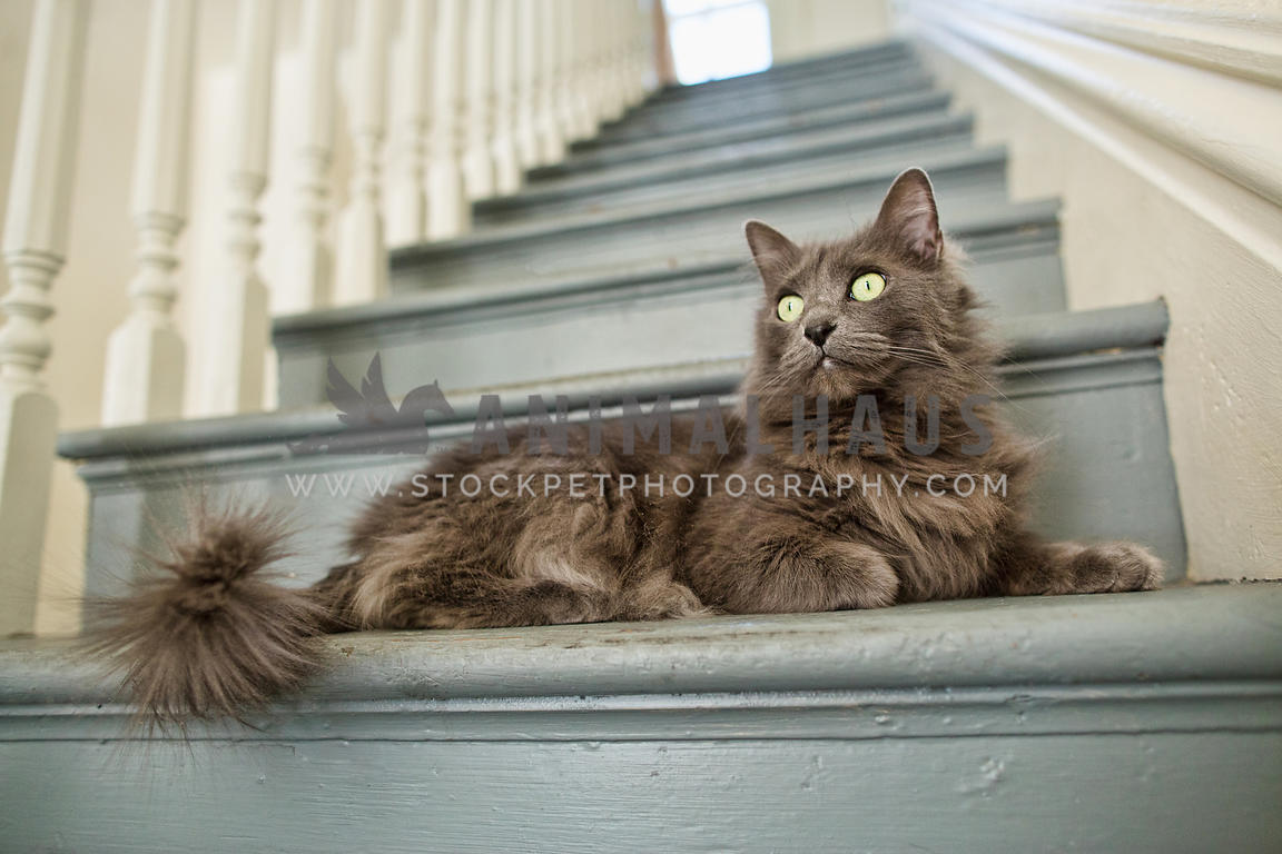 long hair cat on old blue stairs