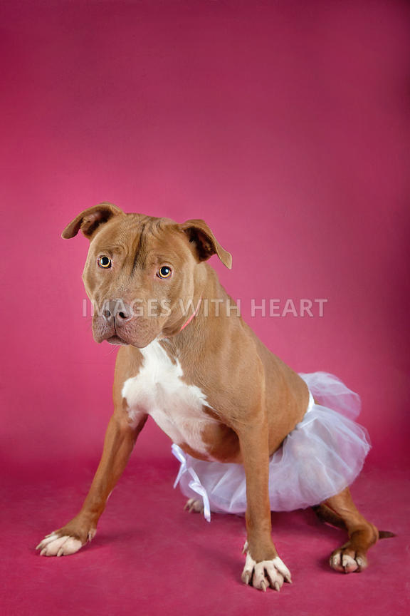 Pit bull in pink tutu on red background