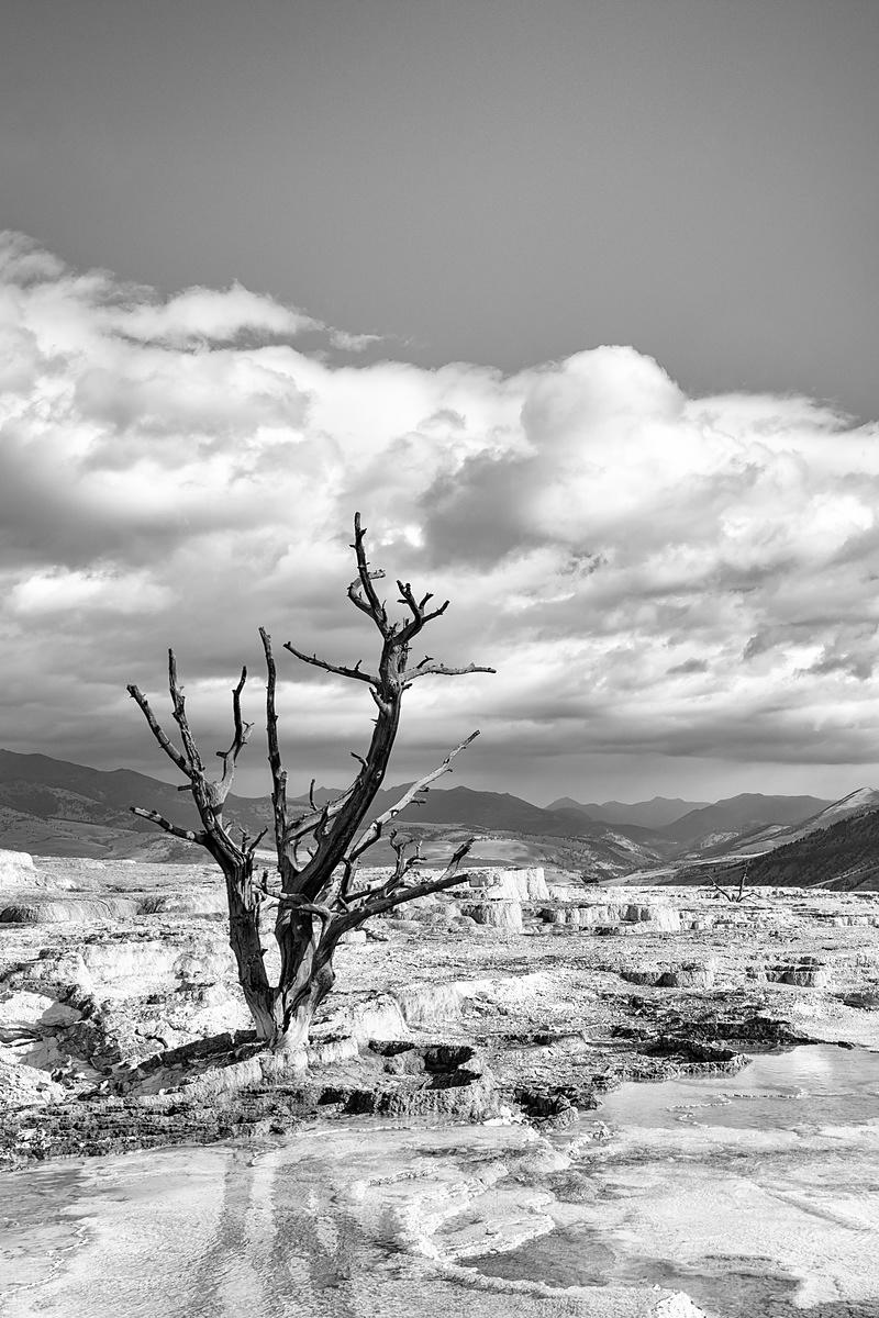 Calcified Tree, Mammoth Hot Springs