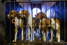 Belvoir foxhounds in their run at the kennels at Belvoir Castle