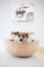 mix breed dog, sitting in a bowl looking directly at the camera