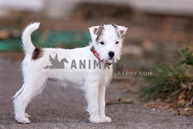 young parson's russell terrier
