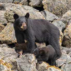 Bears wildlife photos