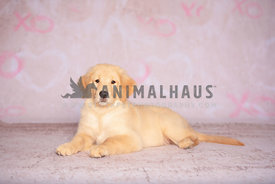 Golden Retriever puppy lying down in front of pink backdrop with xoxo