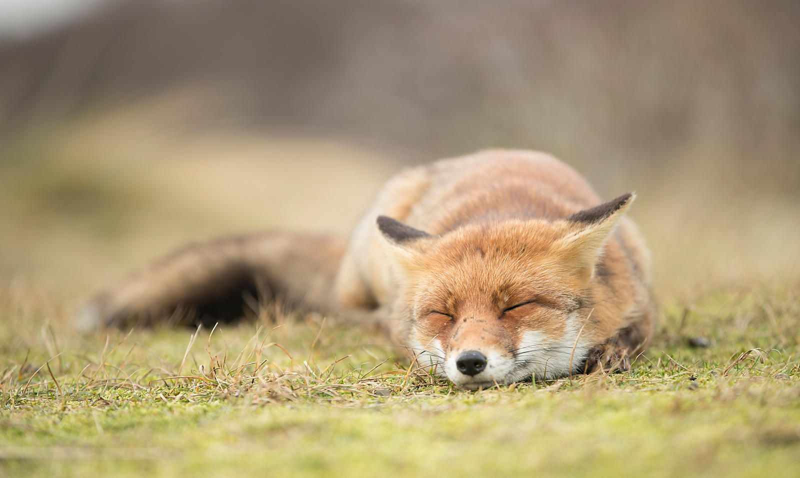 Sleeping Fox, Netherlands
