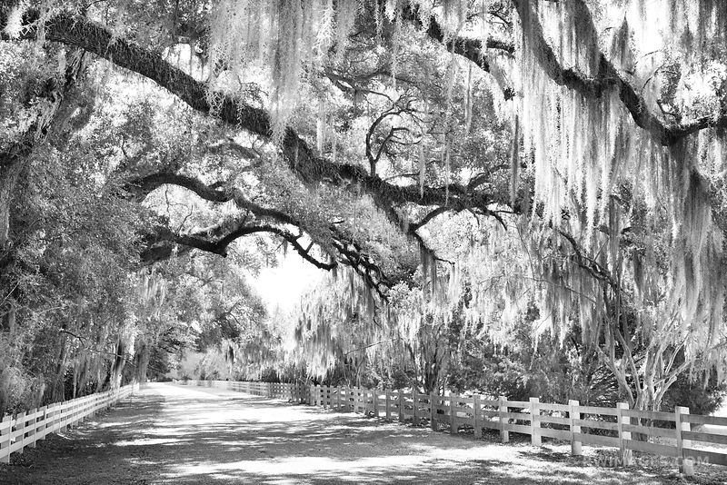 COUNTRY ROAD LIVE OAK SPANISH MOSS ROSEDOWN PLANTATION AND GARDENS ST. FRANCISVILLE LOUISIANA BLACK AND WHITE