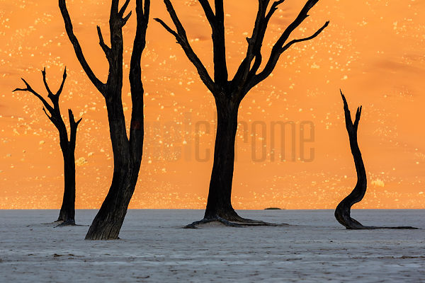 Dead Camelthorn Trees Silhouetted Against Namib Dune