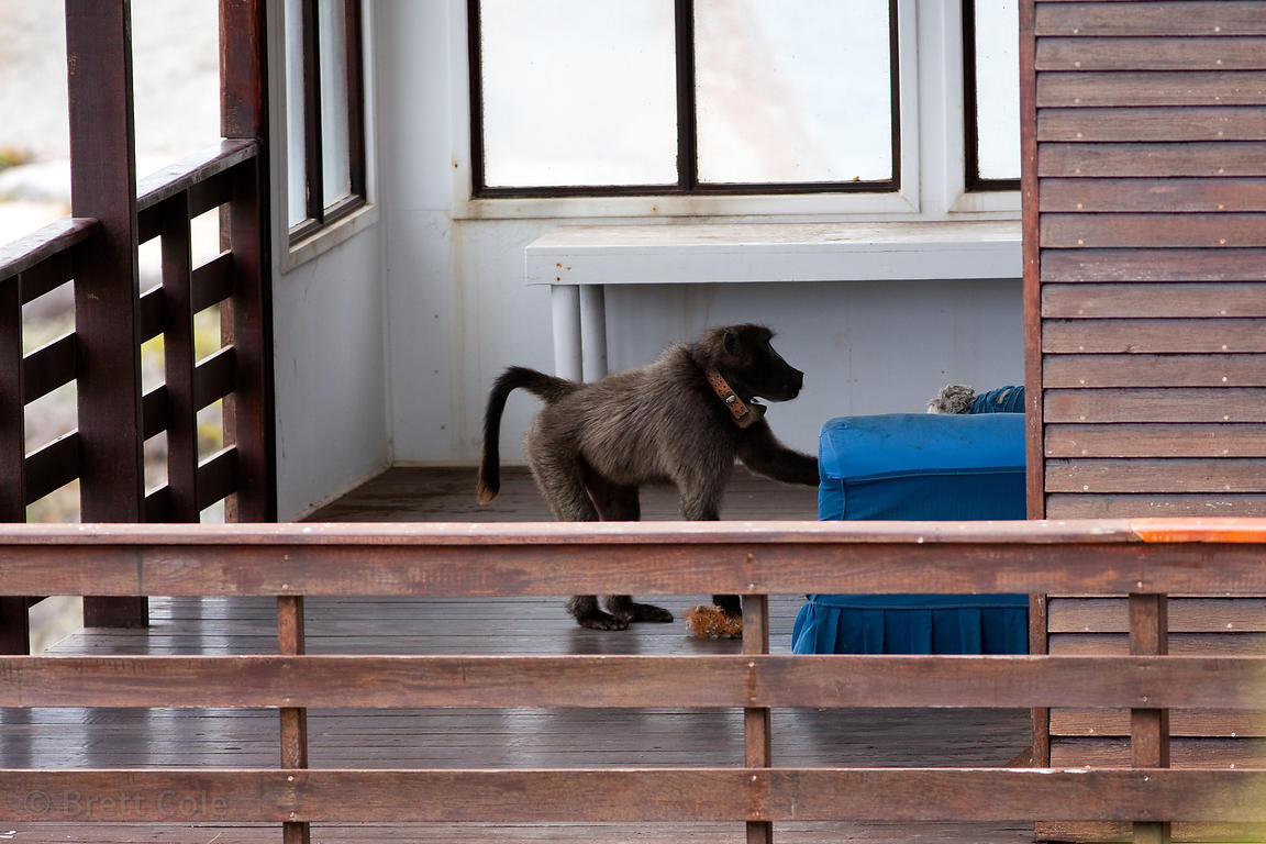 A chacma baboon from the Smitswinkel troop looks for food on the porch of a beach house near Miller's Point, Cape Peninsula, ...