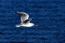 Adult Andean gull (Larus or Chroicocephalus serranus) in winter / non-breeding plumage flying carrying bone in beak