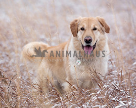 Happy Dog in the tall grass in winter
