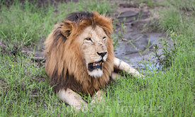 Male lion (Panthera leo), Serengeti National Park, Tanzania; Landscape