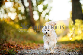 fluffy white dog running down path with leaves