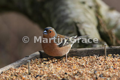 Male Common Chaffinch (Fringilla coelebs) on seed feeder tray, Scotland